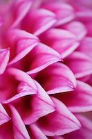 Dahlia Love 1.  Close-up of dahlia flower.