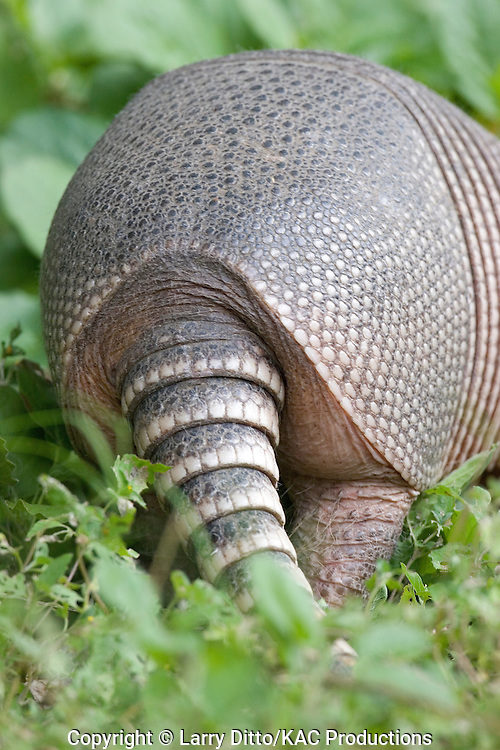 Nine-banded Armadillo (Dasypus novemcinctus) foraging in daylight