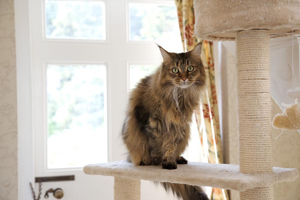 The cat, Fuzzypeg, in Will Gissane's Herefordshire home<br /> CREDIT: Vanessa Berberian for The Wall Street Journal<br /> HOBBY-Gissane/UK