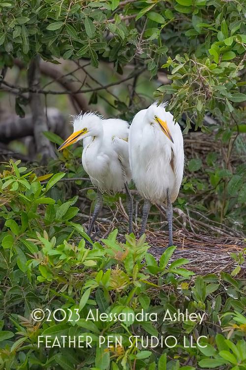 Pair of great egret nestlings in treetop nest at Venice Audubon Rookery on Florida's Gulf coast.
