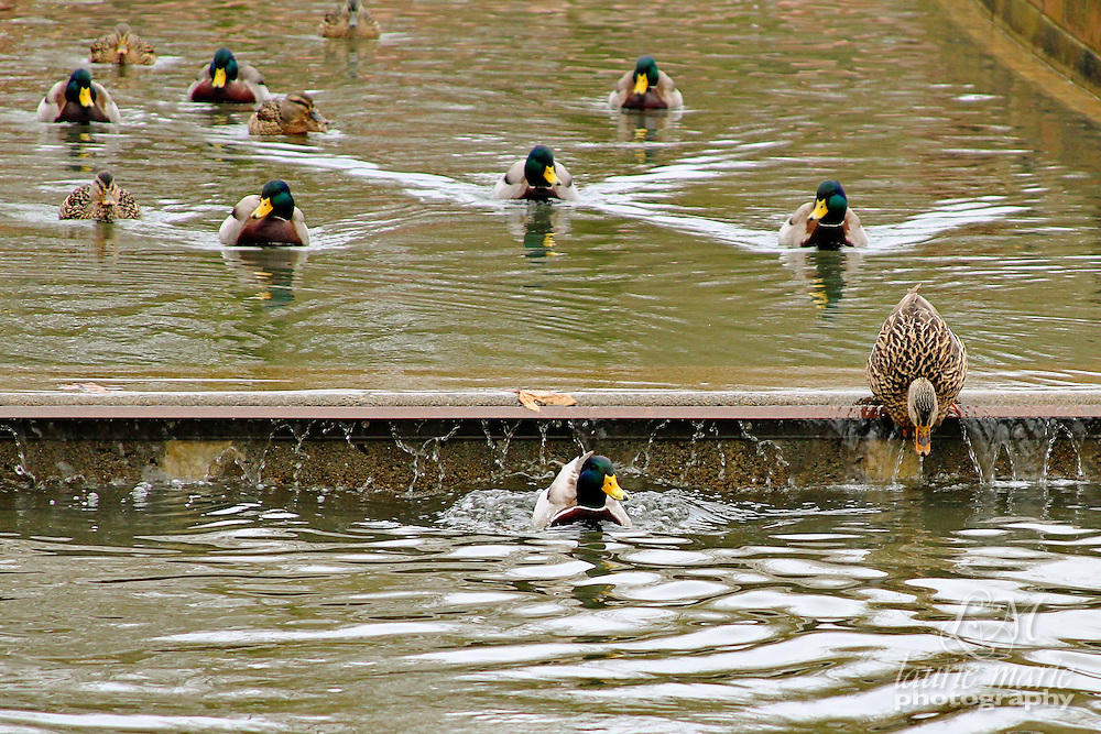 Mallard ducks in Bellevue's Downtown Park canal - crop