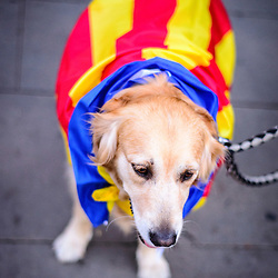 A dog wears a Catalan flag during the National Day of Catalonia.