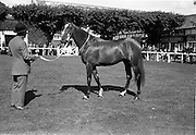 """08/08/1962<br /> 08/08/1962<br /> 08 August 1962<br /> Dublin Horse Show at the RDS, Ballsbridge, Wednesday. <br /> Picture shows""""Arch Point"""", two year old gelding owned by Her Majesty Queen Elizabeth The Queen Mother, winner of the Laidlaw Cup (for Best Young Horse likely to make a hunter) at the Dublin Horse Show."""