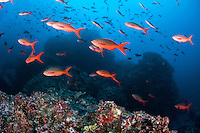 Hundreds of Creolefish feed on plankton in the current above a reef slope.<br /> <br /> <br /> Shot at Cocos Island, Costa Rica