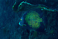 French Angel, Oro Verde, Shipwreck, Grand Cayman