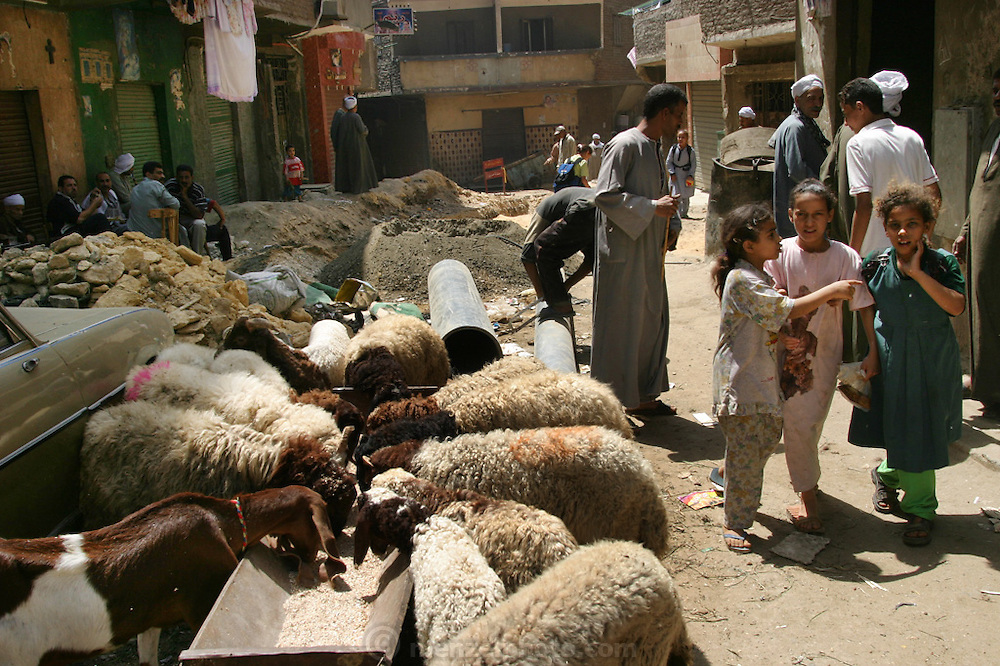 Zabaleen neighborhood in Cairo, Egypt. The Zabaleen districts (garbage collectors in Arabic) are home to the huge recycling industry run by the garbage collectors and their families. They recycle up to 87% of the trash they collect. The organic garbage is used to raise pigs and goats in their neighborhood. Here goats and sheep are eating a supplement of grain in a trough in the street.