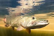 Muskellunge<br /> <br /> Sean Landsman/Engbretson Underwater Photography