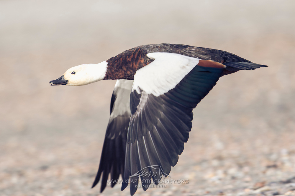 Female paradise shelduck in flight, at Curio Bay, Catlins, New Zealand