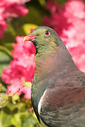 New Zealand Wood Pigeon portrait, Stewart Island, New Zealand