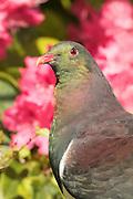 New Zealand Wood Pigeon portrait, Stewart Island, New Zealand