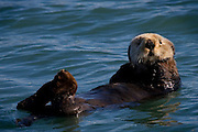 Sea otter, bobbing about on the sea near Seward, Alaska. Sea otters have incredibly dense fur - about 1 million hairs per  square inch!