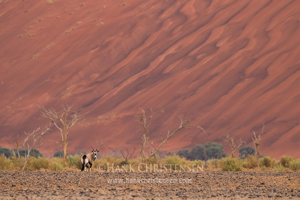 A gemsbok oryx stands in front of a massive dune, wet from a rare early morning thunder storm, Namib-Naukluft National Park, Namibia.