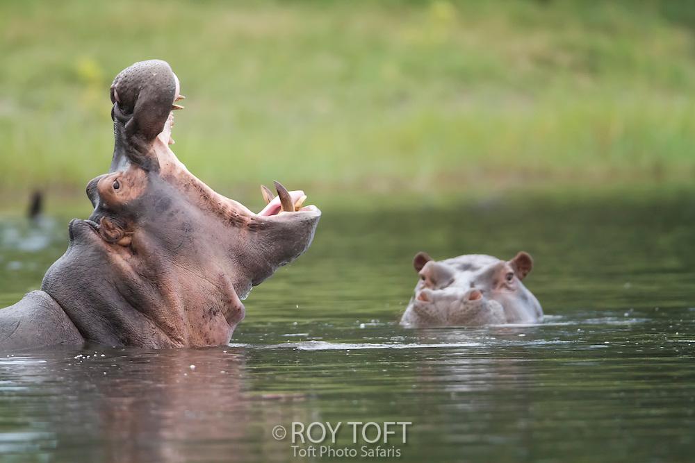 African hippopotamus wallowing in the water, Botswana, Africa