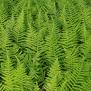 &quot;Feathered Green&quot;<br /> <br /> Beautiful green ferns in a layered nature abstract!