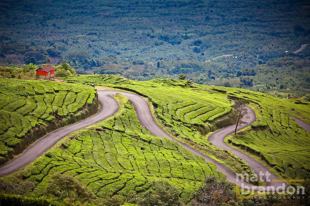 Tea Plantation in Sumatran, Indonesia