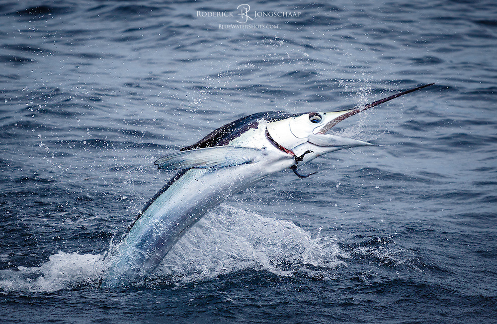 White Marlin jumping sideways offshore Baba, Namibe provence in Angola.