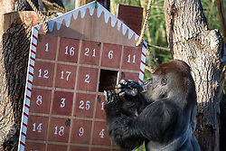 London, UK. 20th December, 2018. Critically endangered western lowland gorilla Kumbuka enjoys festive treats of Brussels sprouts from the door of a large advent calendar specially prepared by keepers at ZSL London Zoo.