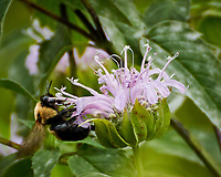 Bee Balm (Lemon Mint, Horsemint). Image taken with a Nikon N1V3 camera and 70-300 mm VR lens
