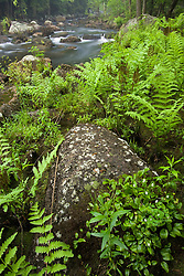 Cinnamon ferns and wild-lily-of-the-valley on the bank of the Ashuelot River near its source in Washington, New Hampshire.