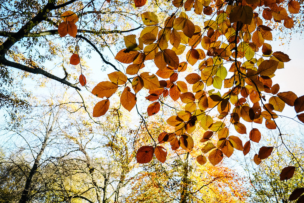 Dublin, Ireland, Autumn: Rich brown leaves on a tree branch in the foreground, with a canopy of fall colours in the background