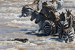 A crocodile (Crocodylinae) swimming toward a herd of zebra (Equus quagga) crossing a river during Kenya's great migration, Masai Mara, Kenya