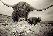 Two Highland Cows owned by Liz and Simon Holmes organizers of the Knockengorroch World Ceilidh.