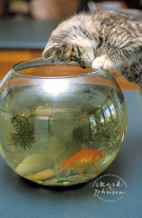 Australia, Queensland, kitten peering into fishbowl.  PR available
