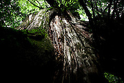 Japan, Yakushima - detail of the trunk of a giant cedar.