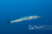 A Blackfin barracuda swims through the ocean in the South Pacific.