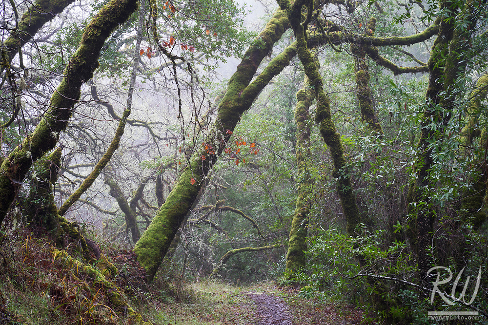 Mossy Forest in Fog, Cascade Canyon Open Space Preserve, Marin County, California