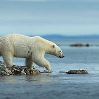 Canada, Nunavut Territory, Repulse Bay, Polar Bear (Ursus maritimus) walking along rocky coastline along Hudson Bay near Arctic Circle