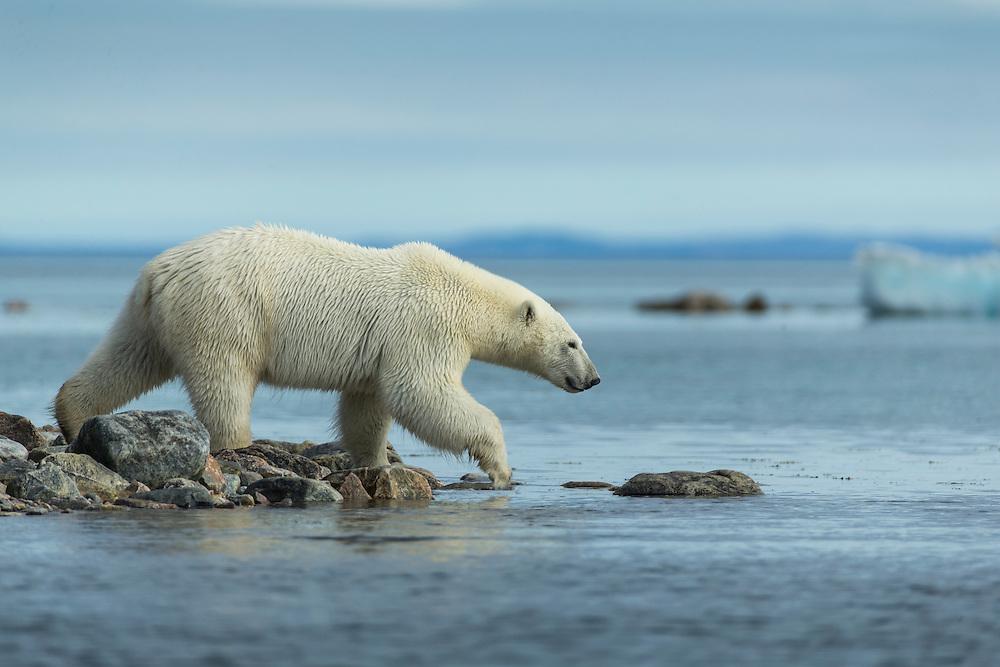 Canada, Nunavut Territory, Repulse Bay, Polar Bear (Ursus maritimus) walking along rocky coastline along Hudson Bay near Arctic Circle