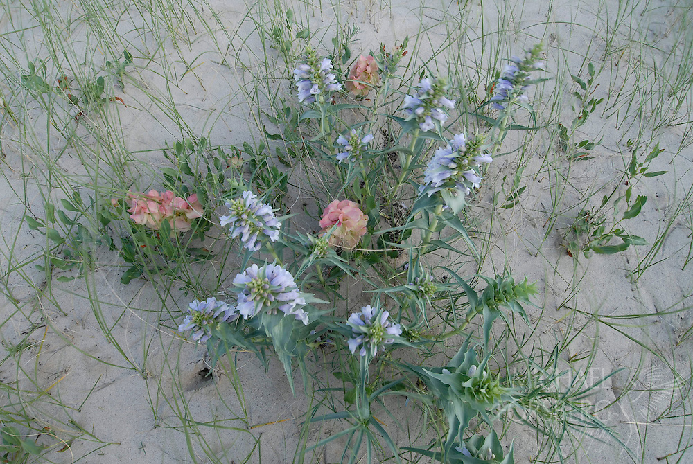 The federally endangered plant species Blowout Penstemon blooms in a sandhills blowout alongside Wild Begonia.   Nebraska.