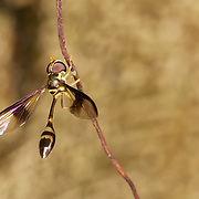 Allobaccha sp. a Syrphidae Hoverfly. Hoverflies, sometimes called flower flies or syrphid flies, make up the insect family Syrphidae.