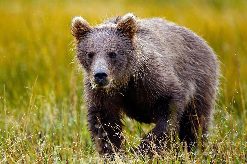 North American brown bear / coastal grizzly bear (Ursus arctos horribilis) cub in a field, Lake Clark National Park, Alaska, United States of America