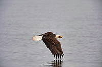 Adult Bald Eagle (Haliaeetus leucocephalus) in flight, Qualicum Beach , British Columbia, Canada   Photo: Peter Llewellyn
