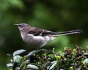 Image of a Mockingbird