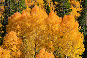 Golden fall aspen along Rush Creek, Inyo National Forest, Sierra Nevada Mountains, California USA