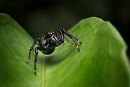 Jumping spider, Cocobolo Nature Reserve, Panama