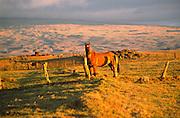 Horse, Parker Ranch, Kohala, Island of Hawaii<br />