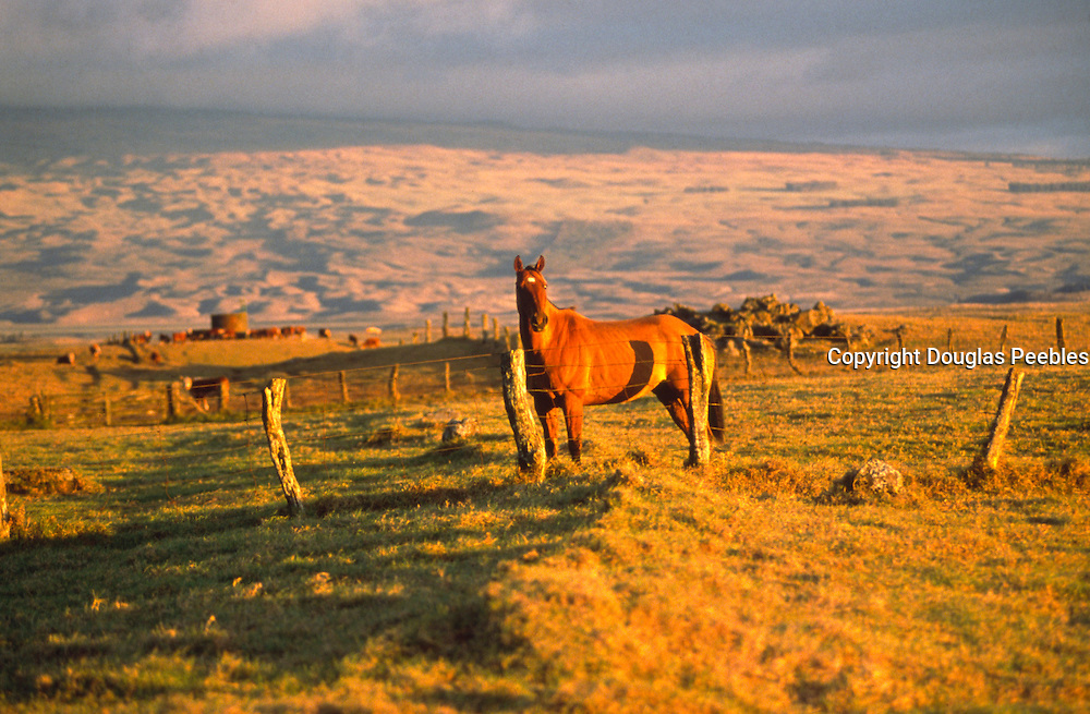 Horse, Parker Ranch, Kohala, Island of Hawaii<br />