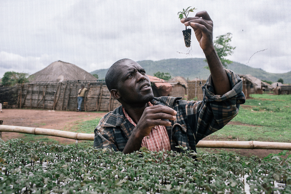 Patrick Banda, a farmer advisor from Manjanja village, checks on his tomatoes in a seedling shelter near Chipata, Zambia. He grows tomatoes in the shelter before planting them in the field. Banda uses the seedling shelters to regulate temperature, protect the plants from excessive rain and sunlight, and also protects from animals and diseases. Banda can monitor the seelings easily since they are only a few paces outside of his village. Banda also uses certified seeds which allow him to use a smaller space to produce a higher yield. With the extra income, Banda is able to put his daughter, Josephine, into one of the best schools in Chipata, Zambia and purchased a plot of land to build a house.