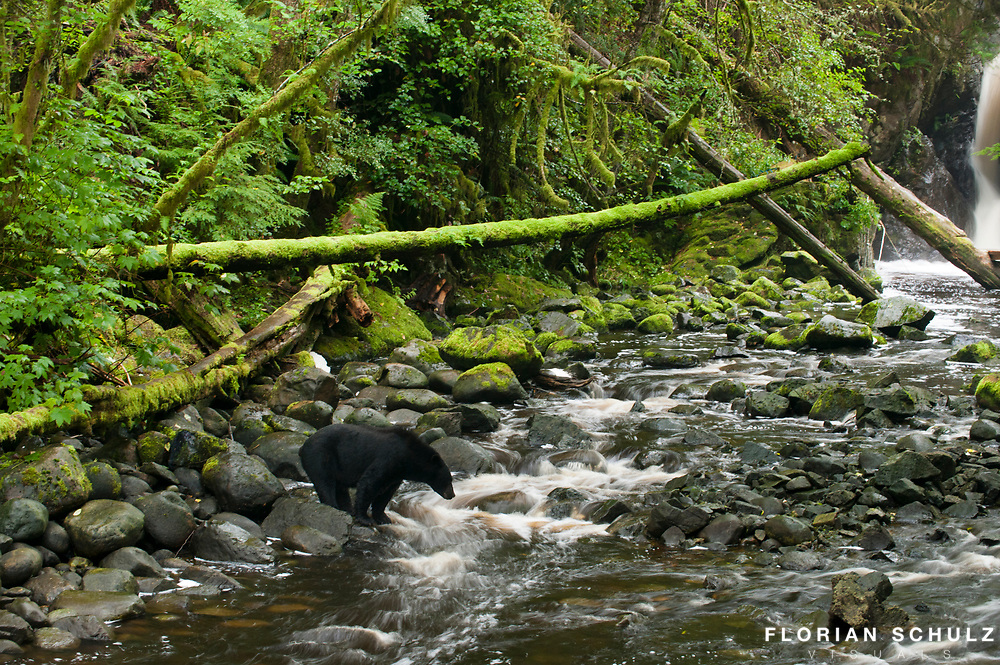 A black bear waits patiently the arrival of spawning salmon upriver from Ucluelet Inlet in Vancouver Island. Canada.