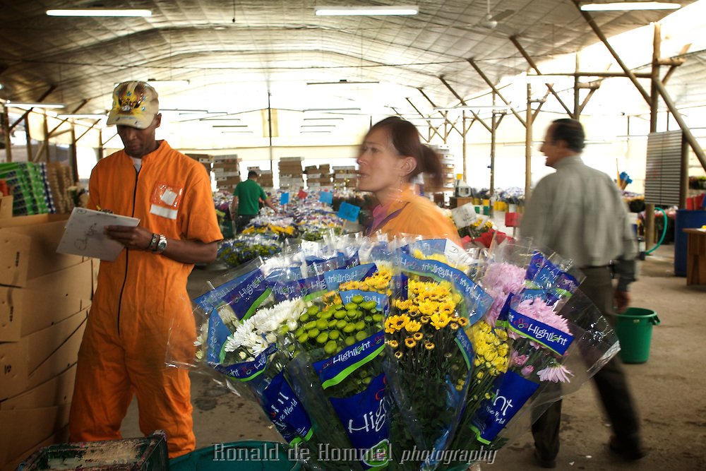 2008-08-14 Rionegro, Colombia. Flowerplantation Uniflor next to the runway of Jose? Mari?a Co?rdova International Airport of Rionegro (Medellin) in Colombia. The plantation grows mainly chrysanthemums for the US and Canadian market.