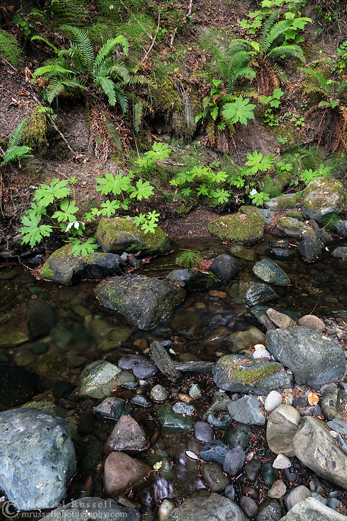 Sword Ferns (Polystichum munitum) and Vanilla Leaf (Achlys triphylla) growing along Maxwell Creek at the Bader's Beach Ravine Park Reserve. Bader's Beach is on the west side of Salt Spring Island near Mount Erskine Provincial Park.