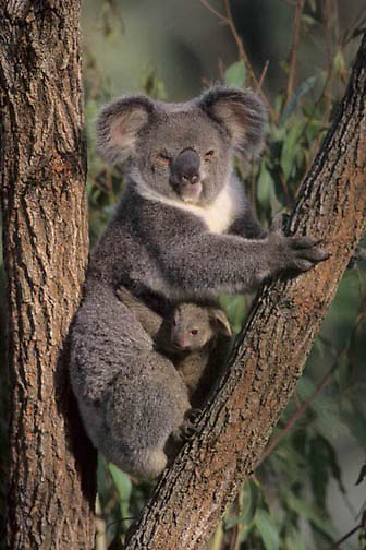 Koala, (Phascolarctos cinereus) Mother and newborn baby. Australia  Captive Animal.
