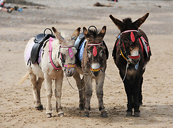 © Licensed to London News Pictures. 27/05/2013..Saltburn, England..Donkey's take a break from carrying visitors on the beach at Saltburn by the Sea in Cleveland....Photo credit : Ian Forsyth/LNP