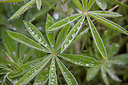 Water beads on the leaves of a wild lupine in a forested setting in North Idaho. PLEASE CONTACT US FOR DIGITAL DOWNLOAD AND PRICING.