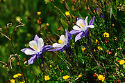 Three Blue Columbine in full flower and full sun. Image captured in Yankee Boy Basin, Uncompahgre National Forest, San Juan Mountains, Colorado.