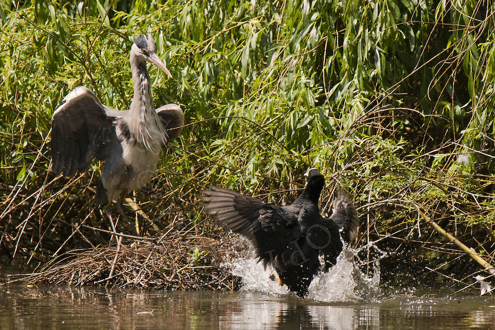 Common Coot (Fulica atra) defending nest from Grey Heron (Ardea cinerea), England